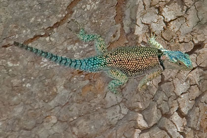 Yarrow's Spiny Lizard Picture @ Kiwifoto.com