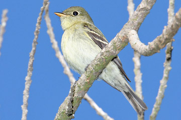 Yellow-bellied Flycatcher Picture @ Kiwifoto.com