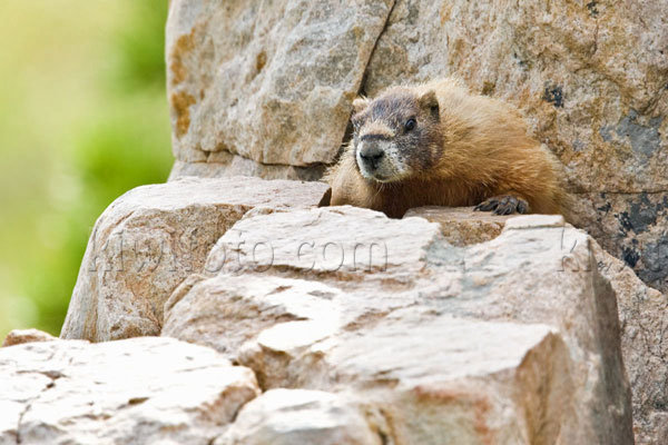 Yellow-bellied Marmot Image @ Kiwifoto.com
