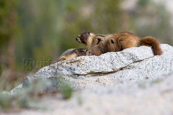 Yellow-bellied Marmot Picture @ Kiwifoto.com