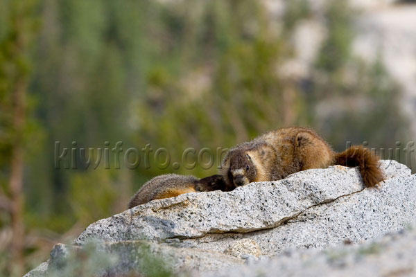 Yellow-bellied Marmot Image