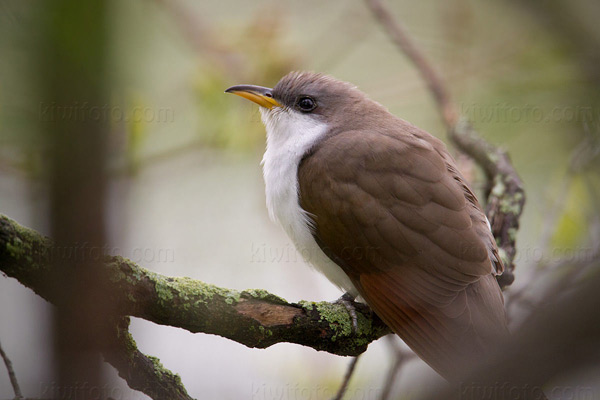 Yellow-billed Cuckoo Picture @ Kiwifoto.com