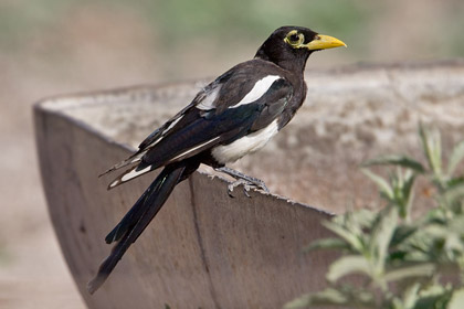 Yellow-billed Magpie Image @ Kiwifoto.com
