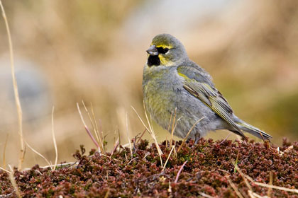 Yellow-bridled Finch (male)