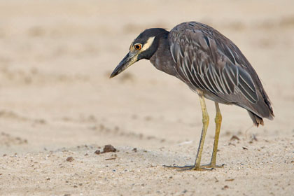 Yellow-crowned Night-Heron Picture @ Kiwifoto.com