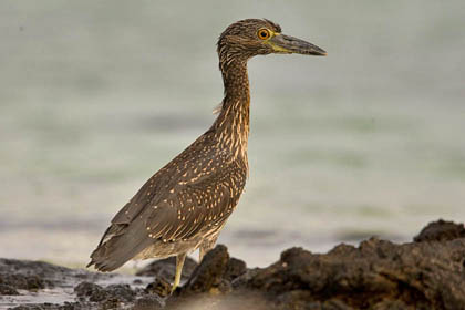 Yellow-crowned Night-Heron Photo @ Kiwifoto.com