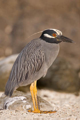 Yellow-crowned Night-Heron Image @ Kiwifoto.com