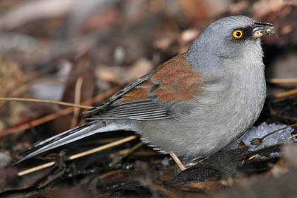 Yellow-eyed Junco Photo @ Kiwifoto.com