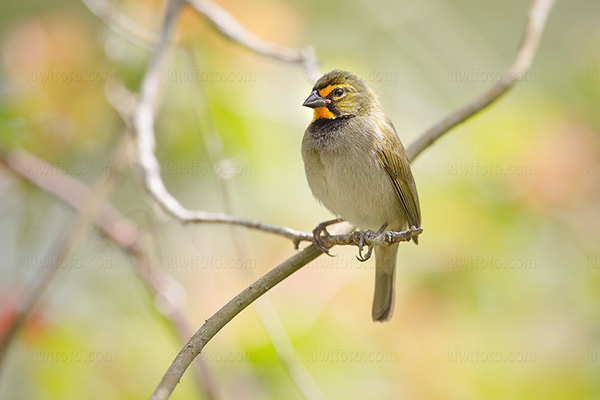 Yellow-faced Grassquit Picture @ Kiwifoto.com
