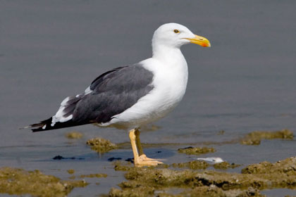 Yellow-footed Gull Picture @ Kiwifoto.com