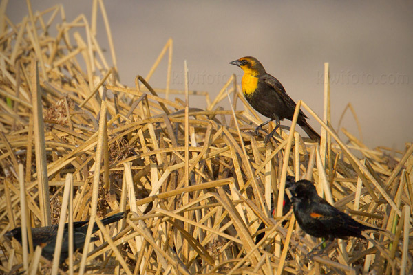 Yellow-headed Blackbird Photo @ Kiwifoto.com
