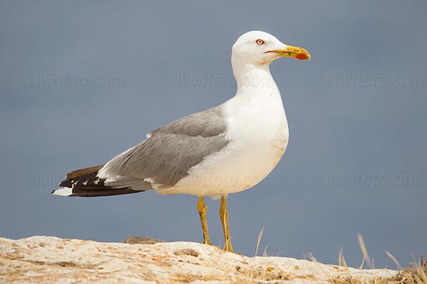 Yellow-legged Gull @ Formentera Island, Ibiza, Balearic Islands, Spain
