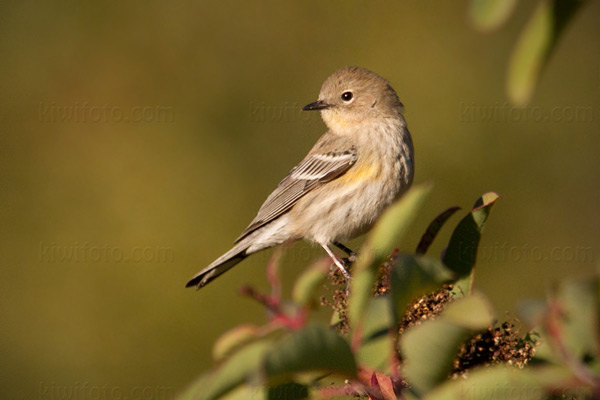 Yellow-rumped Warbler Photo @ Kiwifoto.com