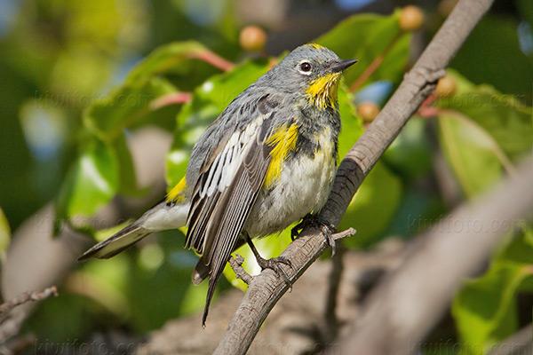 Yellow-rumped Warbler @ Marina del Rey, CA