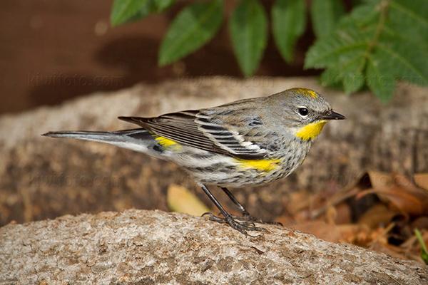 Yellow-rumped Warbler @ Los Angeles, CA