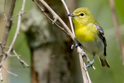 Yellow-throated Vireo Photo @ Kiwifoto.com