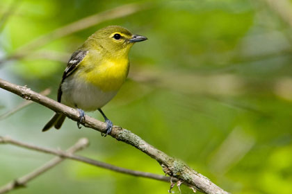 Yellow-throated Vireo Picture @ Kiwifoto.com