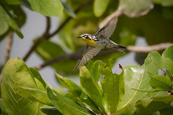 Yellow-throated Warbler Image @ Kiwifoto.com