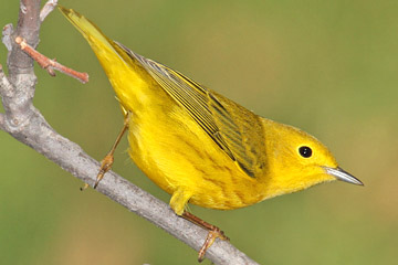 Yellow Warbler Picture @ Kiwifoto.com
