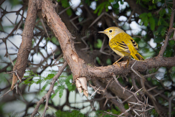 Yellow Warbler Photo @ Kiwifoto.com