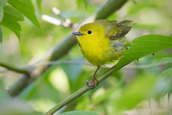Yellow Warbler Female @ Magee Marsh (Crane Creek), OH