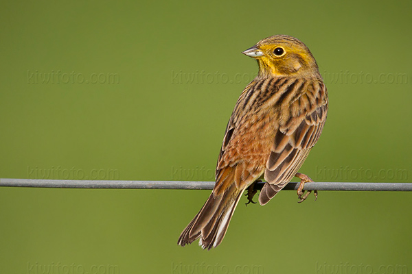 Yellowhammer Photo @ Kiwifoto.com