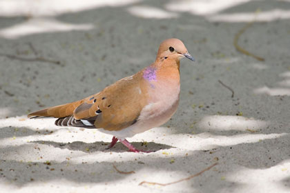 Zenaida Dove Photo @ Kiwifoto.com