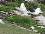 Black-browed Albatross Video