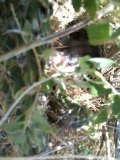 Black-throated Sparrow Nest Video