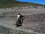 Gentoo Penguin Video