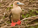 Red-footed Booby Video