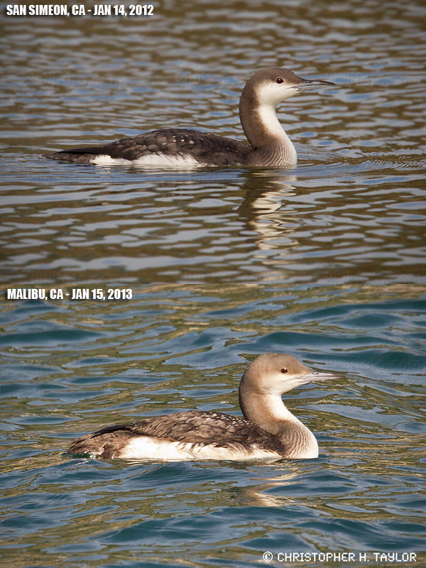 Arctic Loon - Comparison