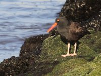 Black Oystercatcher Video