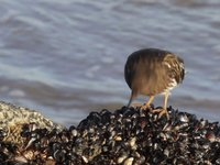 Black Turnstone Video