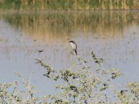 Loggerhead Shrike Video