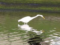 Great Egret Video