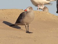 Heermann's Gull Video