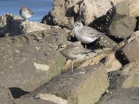 Pacific Golden-Plover Video