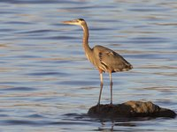 Great Blue Heron Video