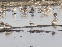 Spoon-billed Sandpiper Video