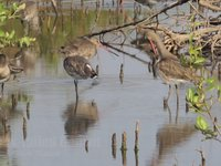 Black-tailed Godwit Video