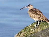 Whimbrel Video