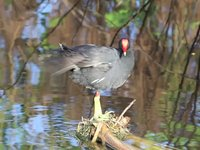 Common Moorhen Video