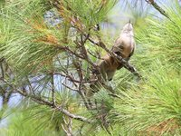 Great Lizard Cuckoo Video