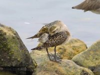 American Golden-Plover Video