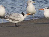 Royal Tern Video