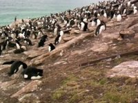Rockhopper Penguin Video