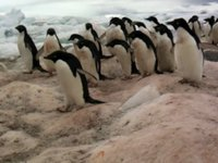 Adelie Penguin Video