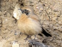Desert Wheatear Video