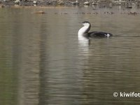 Arctic Loon Video